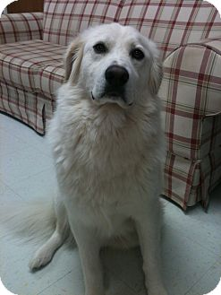 Great Pyrenees Mix Dog for Sale in Manchester, Connecticut - Wrigley ADOPTION PENDING