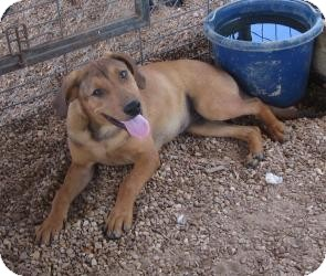 Labrador Retriever/Shepherd (Unknown Type) Mix Puppy for Sale in Manchester, Connecticut - Zayn ADOPTION PENDING