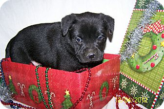 Labrador Retriever/Boxer Mix Puppy for Sale in Niagra Falls, New York - Mikey