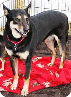 German Shepherd Dog/Australian Kelpie Mix Dog for adption in Gilbert, Arizona - Tilly