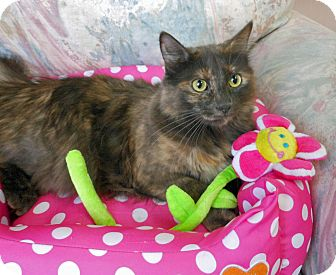 Maine Coon Cat for adoption in Youngtown, Arizona - Daphne Primrose