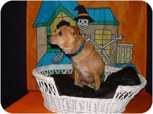 Chihuahua/Dachshund Mix Dog for adption in Clear Lake, Washington - PRINCE CHARMING