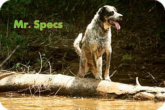 Bluetick Coonhound Mix Dog for adption in Danbury, Connecticut - Mr. Specs