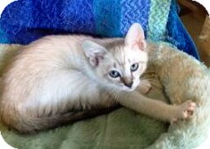 Siamese Kitten for Sale in Vero Beach, Florida - Roscoe