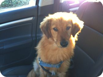 Golden Retriever Mix Dog for Sale in Irvine, California - RUSTY