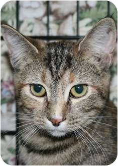 Domestic Shorthair Kitten for adoption in Walkersville, Maryland - Tassie