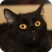 Domestic Longhair Cat for adoption in Albany, New York - Cornelius