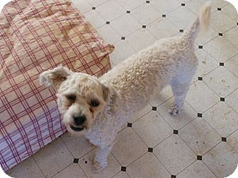 Poodle (Miniature) Mix Dog for Sale in Chandler, Arizona - Pepe