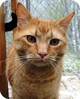 Domestic Shorthair Cat for adoption in Stuart, Virginia - Cato