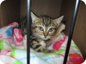 Domestic Shorthair Kitten for Sale in Oceanside, New York - Jo Jo