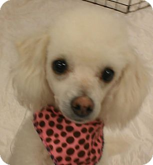 Poodle (Toy or Tea Cup)/Maltese Mix Dog for Sale in Phoenix, Arizona - Lambchop - NON SHED!