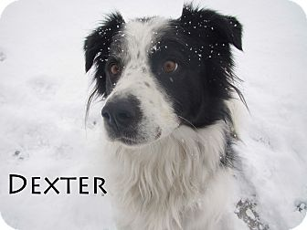 Border Collie Mix Dog for Sale in Hamilton, Montana - Dexter