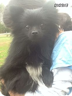 Pomeranian Dog for Sale in Springfield, Virginia - Gracie!!