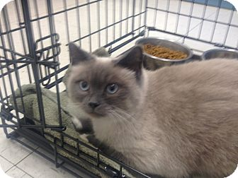 Siamese Cat for Sale in Greenville, South Carolina - Luna