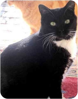 Domestic Shorthair Cat for adoption in Peoria, Arizona - Ondrea