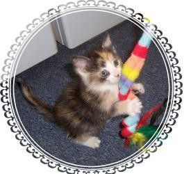 Calico Kitten for Sale in South Plainfield, New Jersey - Sweet Pea!