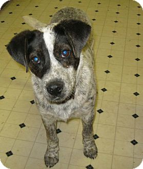 Australian Cattle Dog Mix Puppy for adption in Pelham, New York - Napoleon