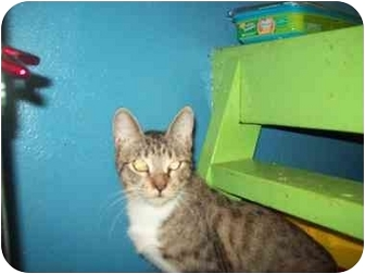 Domestic Shorthair Cat for adoption in Orlando, Florida - Macy