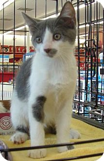 Domestic Shorthair Kitten for Sale in Merrifield, Virginia - Twinkle Toes