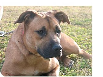 Staffordshire Bull Terrier/German Shepherd Dog Mix Dog for Sale in Chandler, Arizona - Sheeba