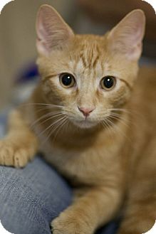 Domestic Shorthair Kitten for adoption in Chicago, Illinois - Pounce