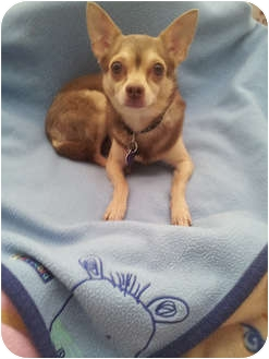 Chihuahua Dog for Sale in Boynton Beach, Florida - Braxton