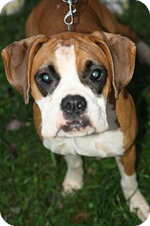 Boxer Dog for Sale in Sussex, New Jersey - Maggie