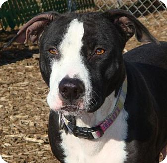 American Pit Bull Terrier Mix Dog for Sale in Red Bluff, California - Star-URGENT