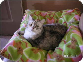 British Shorthair Cat for adoption in Phoenix, Arizona - MONA LISA