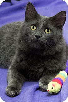 Domestic Mediumhair Cat for Sale in Chicago, Illinois - Plum