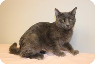 Russian Blue Cat for Sale in Gainesville, Florida - Poptart