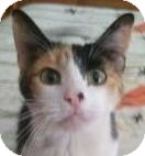 Calico Cat for Sale in Kansas City, Missouri - Margie