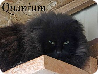 Domestic Longhair Cat for Sale in Hamilton, Montana - Quantum