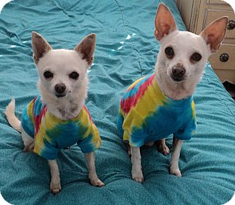 Chihuahua Dog for Sale in Studio City, California - Linda & Leo