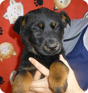 Golden Retriever/German Shepherd Dog Mix Puppy for Sale in Oviedo, Florida - Cammy