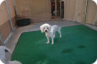 Poodle (Miniature) Mix Dog for Sale in san antonio, Texas - Holly