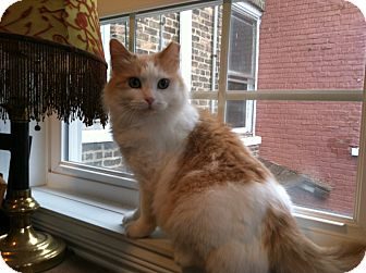 Domestic Longhair Cat for Sale in Chicago, Illinois - Dolly