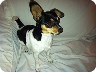 Chihuahua Mix Dog for Sale in San Diego, California - Philly URGENT