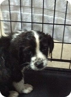 Collie Mix Puppy for Sale in Hazard, Kentucky - Freckles