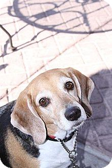 Beagle Mix Dog for Sale in Phoenix, Arizona - Stripey