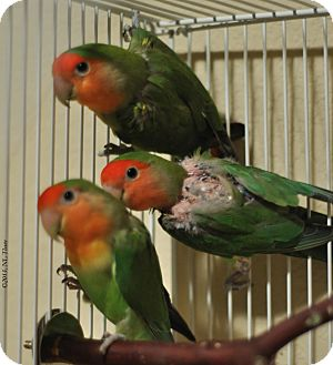 Lovebird for Sale in Shawnee Mission, Kansas - Opal