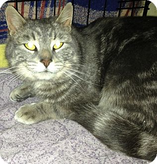 Domestic Shorthair Cat for adoption in Emsdale (Huntsville), Ontario - Griffin - Foster Home Needed!