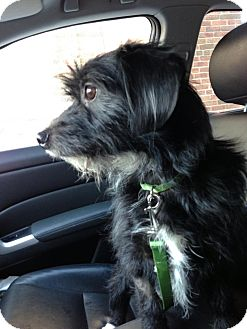 Cairn Terrier/Dachshund Mix Dog for Sale in Chicago, Illinois - Dudley