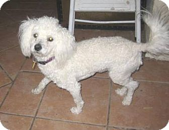 Bichon Frise/Poodle (Miniature) Mix Dog for Sale in Glendale, Arizona - Boomer