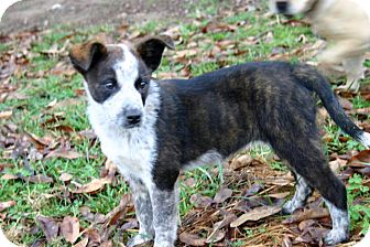 Australian Cattle Dog/Border Collie Mix Puppy for Sale in Glastonbury, Connecticut - Selena adopted!
