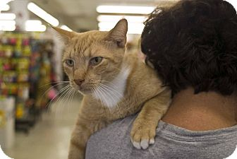 Domestic Shorthair Cat for adoption in Elfers, Florida - Mufasa