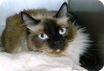 Siamese Cat for Sale in Cheyenne, Wyoming - Winston
