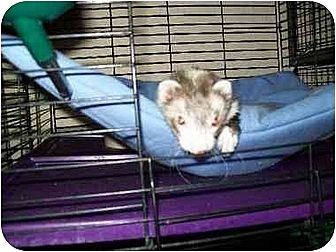Ferret for adoption in San Marcos, Texas - Sadie