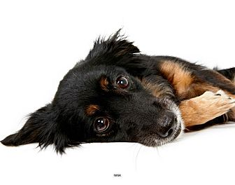 Collie Mix Dog for Sale in New York, New York - Nina