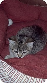 Domestic Shorthair Kitten for Sale in Sterling Hgts, Michigan - Mccoy